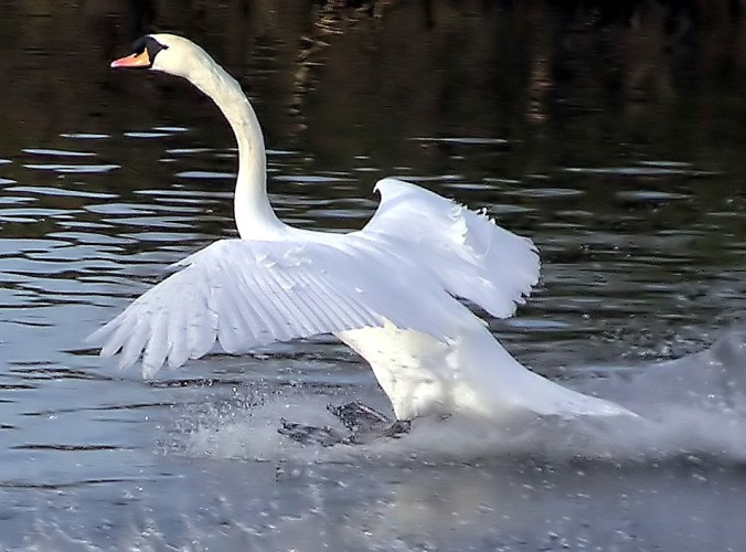 https://upload.wikimedia.org/wikipedia/commons/5/52/Mute.swan.touchdown.arp.jpg